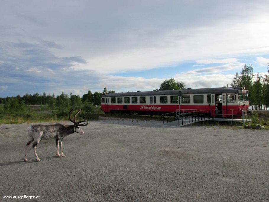 Rentier Lappland