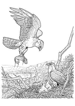 Ausmalbilder Adler Fngt Einen Fisch Adler Malvorlagen