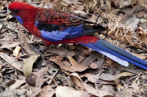 Papagei aus der Nähe