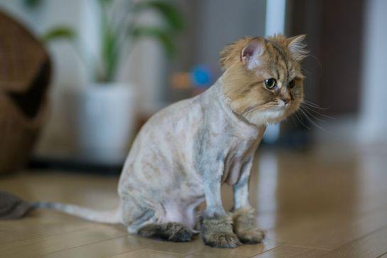 ShavedCat