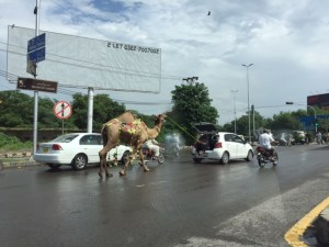 A newly bought camel on his way home!