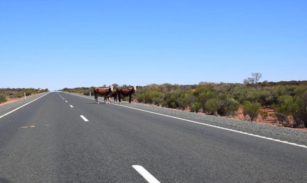 Beware of Livestock - Travel safe in Australia