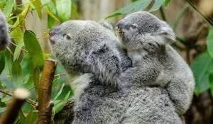 Koala and cub - australias cutest critters