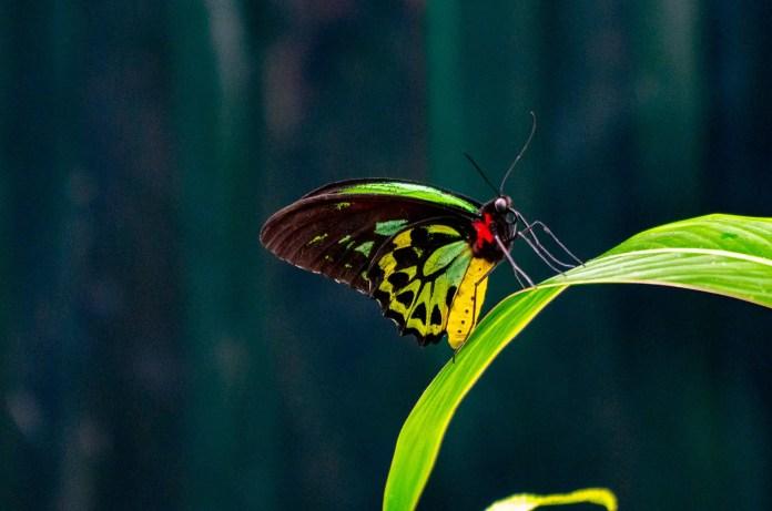 The green & gold Cairns Birdwing Butterfly