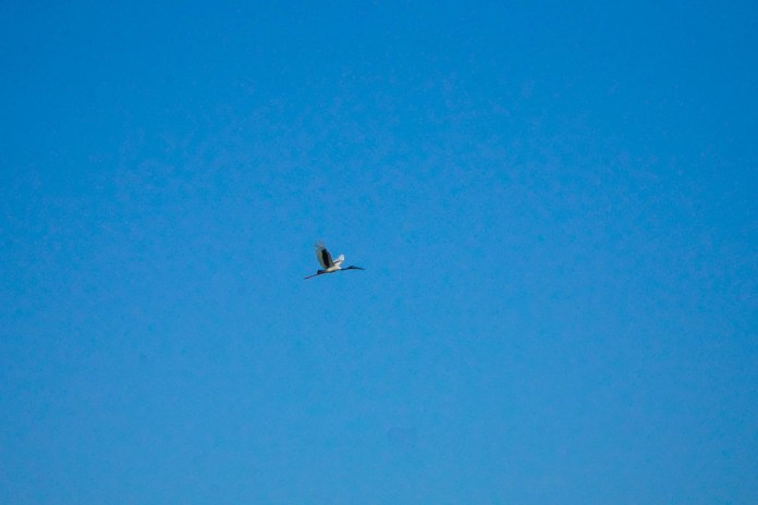 Jabiru - Black necked stork at Corroboree Billabong