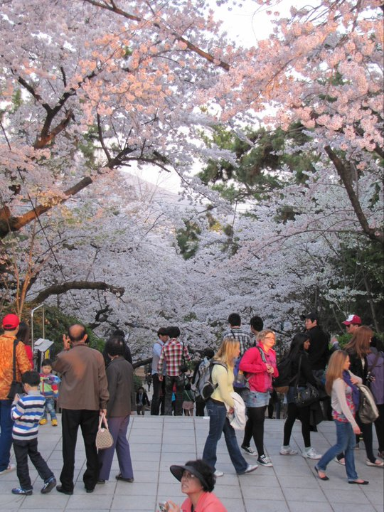 Jinhae Cherry Blossom Festival South Korea