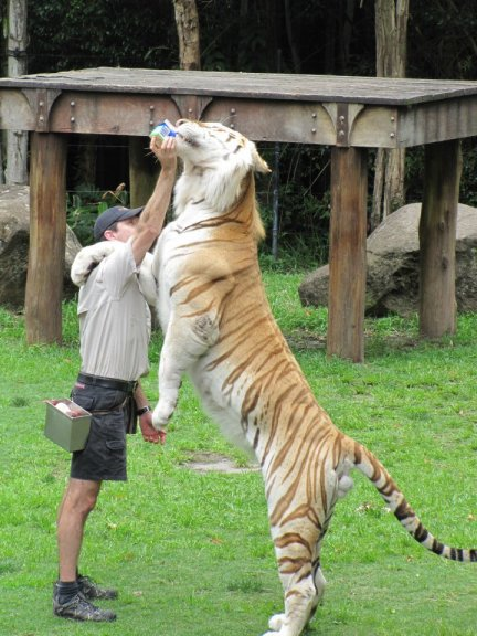 A man feeding a tiger at Dreamworld