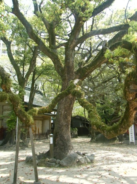 A twisted tree in the courtyard