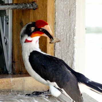 A friendly hornbill chilling out at the Tarangire picnic area.