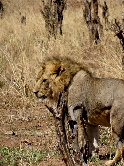 A wounded male lion slinks away from us.