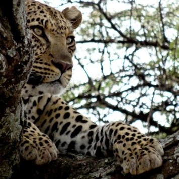 Another shot of the leopard as it surveys its domain from its treetop roost.