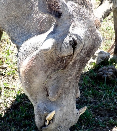 A close up of a warthog as it forages in Ngorogoro.