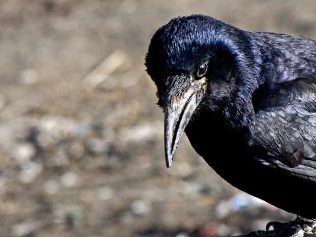 A raven picks through the garbage on the roadside in Opal, Xinjiang.