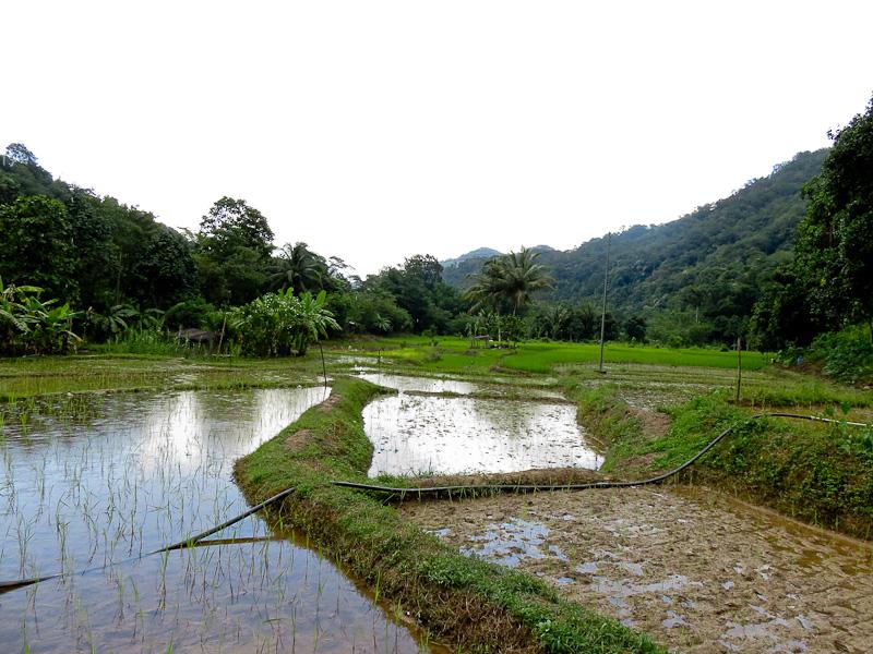 rice paddy 3 kiulu farm stay