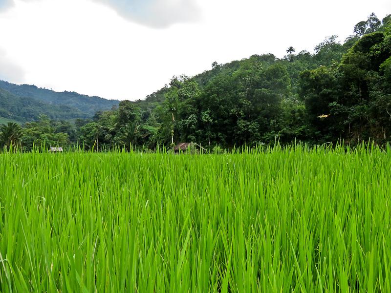 rice paddies kiulu farm stay