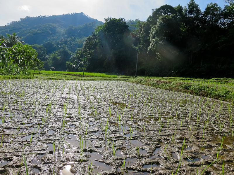 rice paddy dawn kiulu farm stay