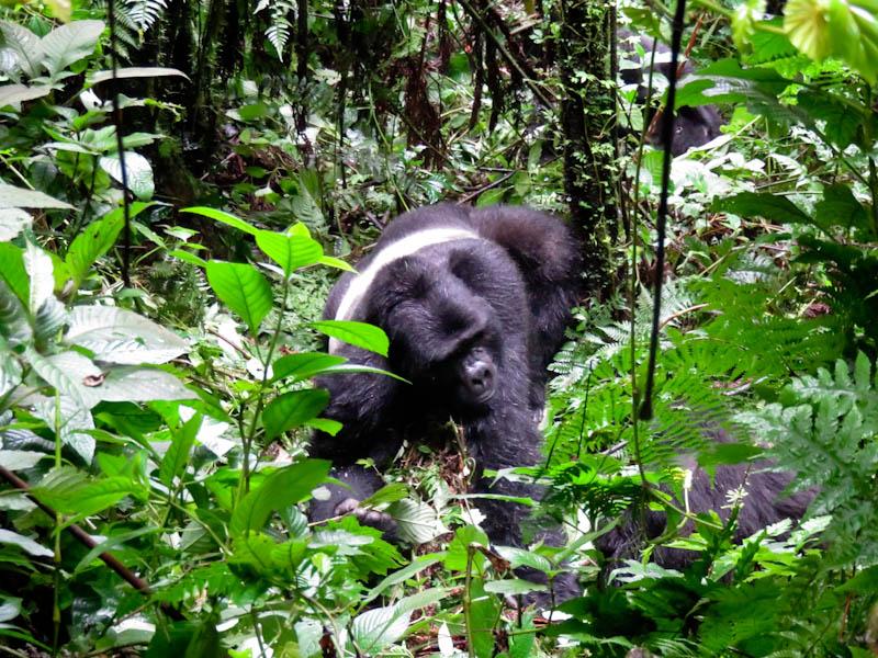 gorillas in the mist uganda