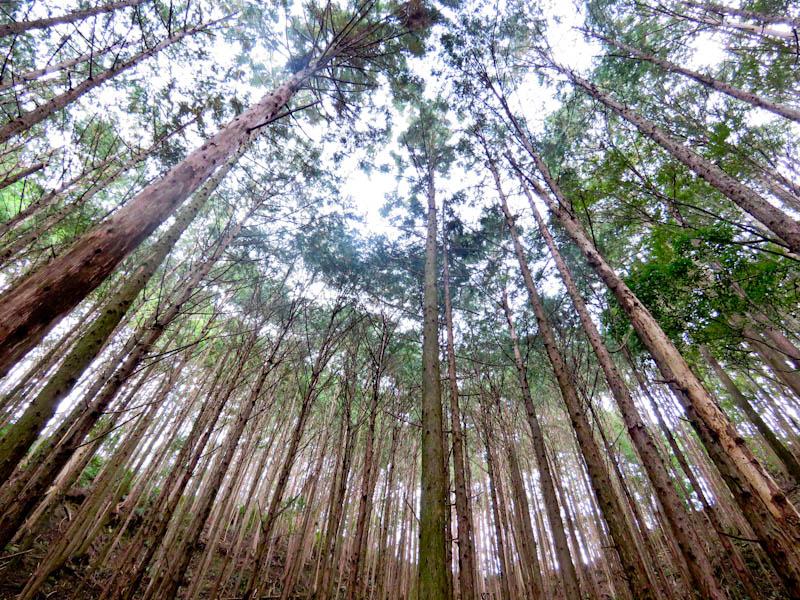 kumano kodo iseji towering trees