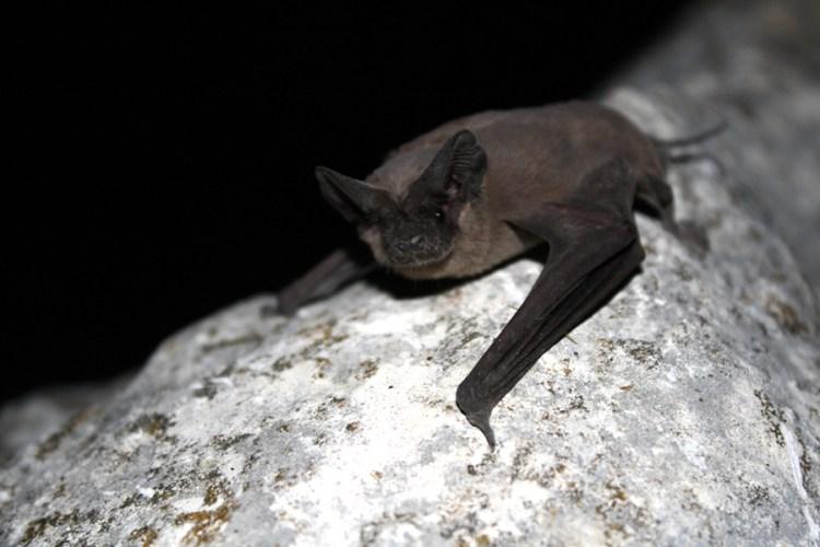 austin congress bats bridge mexican free-tailed flight wildlife