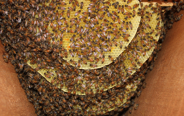 honeybee honey bee beekeeping beekeeper hive beehive swarm colony