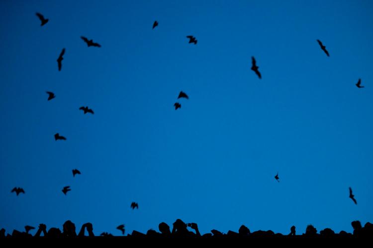 congress bridge bats austin texas urban bat colony largest