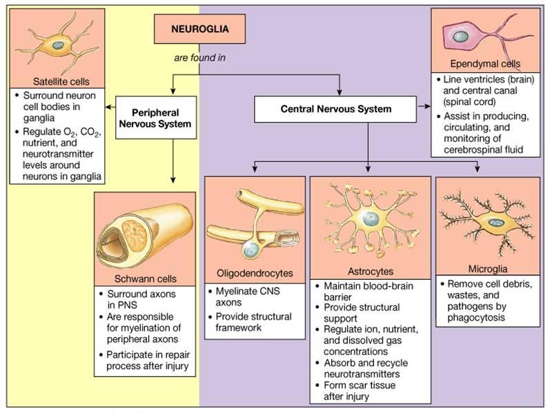 Microglia are mesodermal in origin.