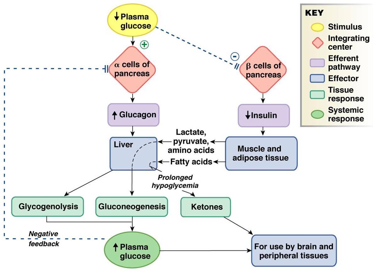 Endocrine Flowchart