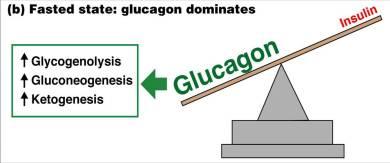 insulin glucagon ratio