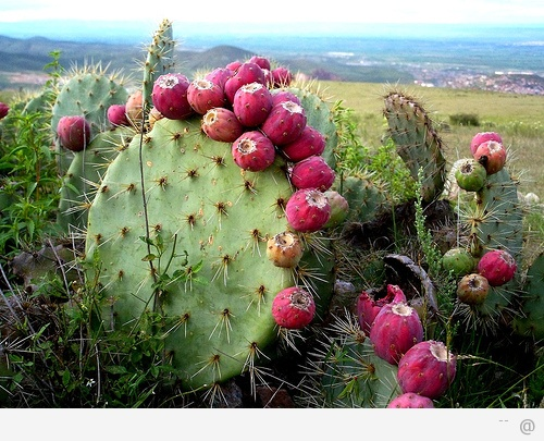 Cactus Fruit Skin You Can Eat