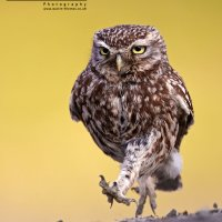 Little Owl Walking BWPA Highly Commended