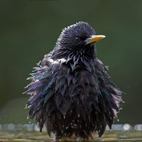 Soaking Wet Starling BWPA Highly Commended