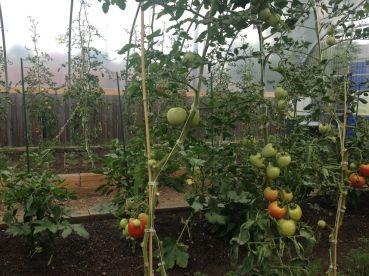 A view from inside PCC Austin Farm's greenhouse on Thur. August 20. The greenhouse was recently completed. Michael Romain/Staff.