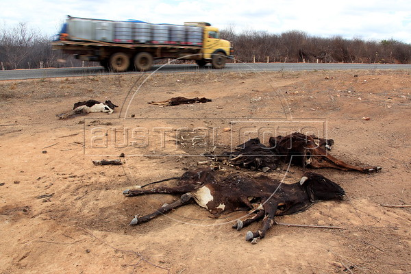 Dead cattle by the highway in the Semi-arid region, known as the sertao, of the northeastern Brazilian state of Pernambuco. The region has dry season every year, but 2012 is considered the worst in 30 years. (Australfoto/Douglas Engle)