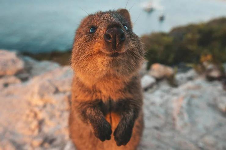 Quokka On Rottnest Island © James Vodicka