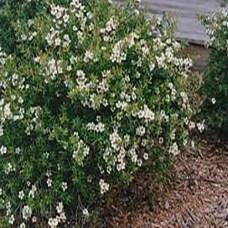 Lemon-tee-tree-bush