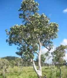Niaouli-tree-3