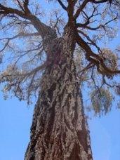 ironbark-tree