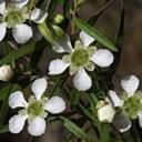 lemon-scented-tea-tree-leptospermum_petersonii-flower
