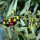 sandalwood-northern-santalum-lanceolatum