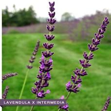 lavendula-x-intermedia-R-1-500