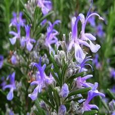 Rosemary-flowers