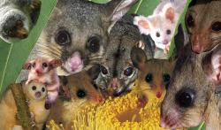 Australia's possums and gliders