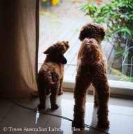 australian_labradoodlet_ikkunassa