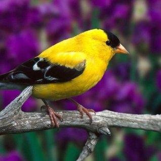 Певчие птицы
