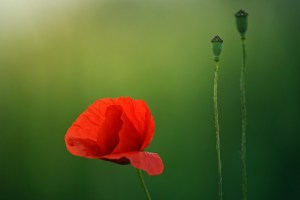 Armistice Day Centennary. Red poppy