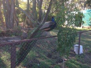 Russel-Zable-peacock
