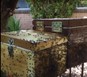 Swarm capture of native bees
