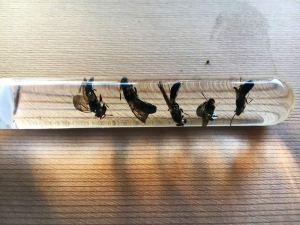 Black soldier fly pests