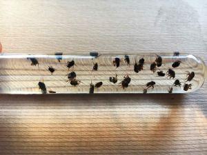 Phorid fly stingless bee pests
