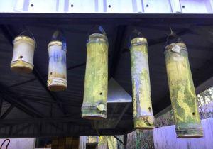 Trap hives hanging